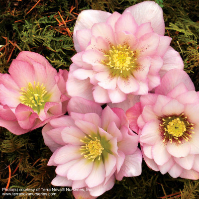 Helleborus 'Cotton Candy'