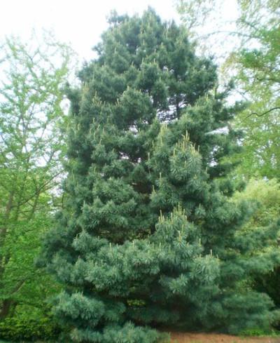 Pinus koraiensis 'Anna'