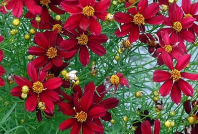 Coreopsis 'Red Satin'