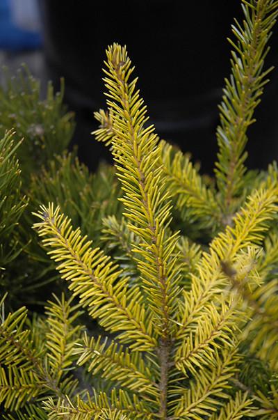 Picea omorika 'Aurea'
