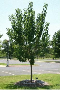 Maclura pomifera 'White Shield'