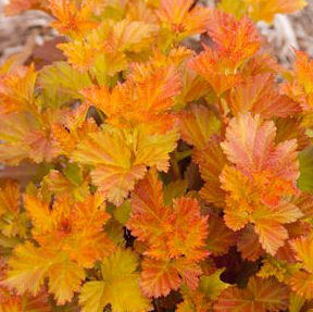 Physocarpus opulifolius 'Jefam' Amber Jubilee