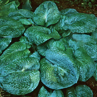 Hosta 'Blackjack'