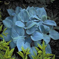 Hosta 'Fragrant Blue'