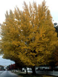 Ginkgo biloba 'The President' Presidential Gold
