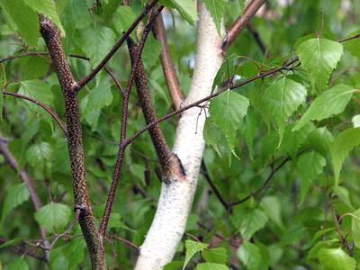 Betula populifolia 'Whitespire'