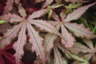 Acer palmatum 'Aka shigitatsu sawa'