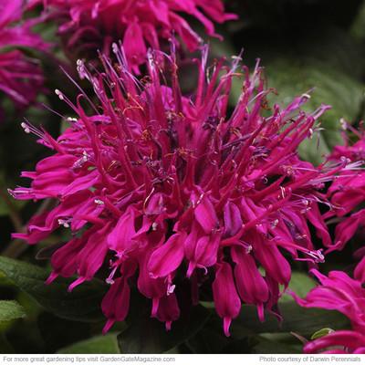 Monarda didyma 'Balmy Purple'