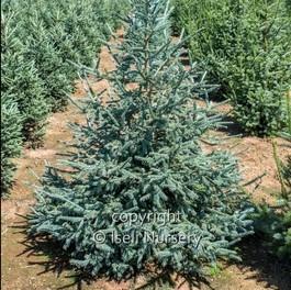 Picea obova 'Arctos'