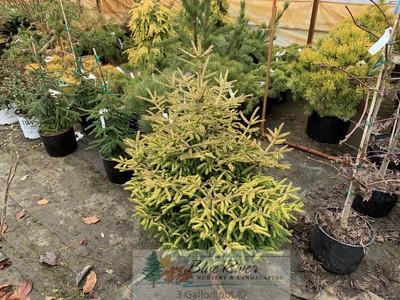 Picea orientalis 'Firefly'