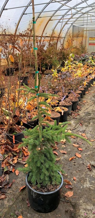 "Picea rubens ""Lake Street Steeple"""