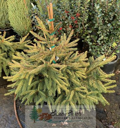 """Picea abies """"Aurea Jakobson"""""""