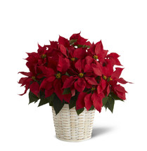 "8.5"" Red Poinsettia Wrapped in Foil With a Bow"