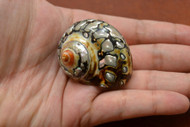 South Africa Sarmaticus Turbo Hermit Crab Shell