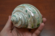 Pearl Green Banded Jade Turbo Hermit Crab Shell