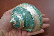 """Green Mother of Pearl Banded Jade Turbo Hermit Crab Shell 4 1/2"""""""