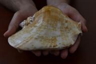 Large Big Strombus Latissinue Volute Seashell