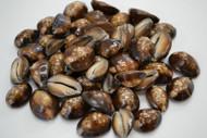 Humpback Cypraea Cowrie Seashell