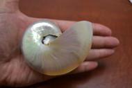 """Small White Pearl Nautilus Seashell 3"""" - 3 1/2"""""""