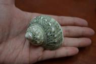 "Green Petholatus Jade Turbo Hermit Crab Shell 2"" - 2 1/2"""