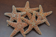 "Sugar Starfish Seashell 4 1/2"" - 5"""