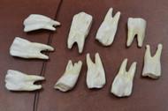 White Genuine Back Buffalo Teeth Tooth Pendants