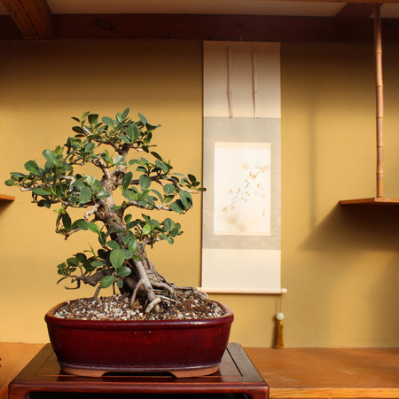 Green Island Ficus with air roots