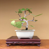 Beautiful Fig Tree (B4029)