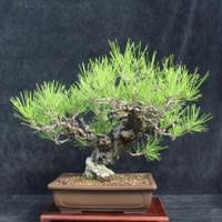 Nishiki Black Pine