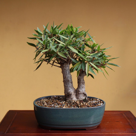 Twin Trunk Willow Leaf Ficus