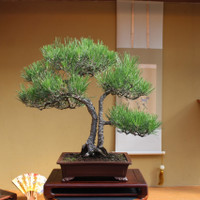 Japanese Black Pine Twin Trunk