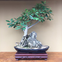 Root-Over-Rock Buxifolia Ficus (FB600)