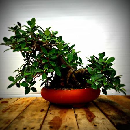Green Island Ficus (GI614)
