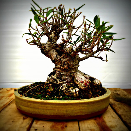 Willow Leaf Ficus (WF605)