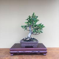 Tigerbark Ficus (B4001)
