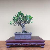 Tigerbark Ficus (FR606)