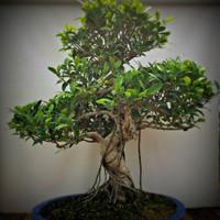 Ficus Retusa (FR618)