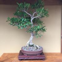 Ficus Retusa (FR615)