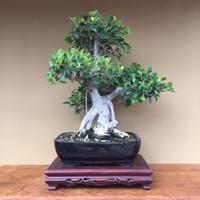 Ficus Retusa (FR616)