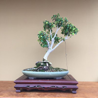 Ficus Tree In Teal Glazed Pot