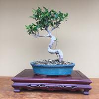Ficus Retusa (B4016)