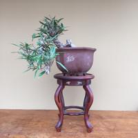 Cascade Style Willowleaf Ficus (B4009)