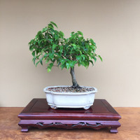 Wiandi Ficus (B4005)