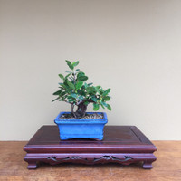 Shohin Green Island Ficus (B4002)