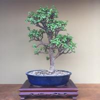 Mini Jade (B4011)