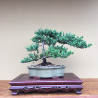 Beginners Bonsai—  Upright Japanese Juniper Tree