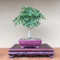 Arboricola Hawaiian Umbrella (Indoor Tree)
