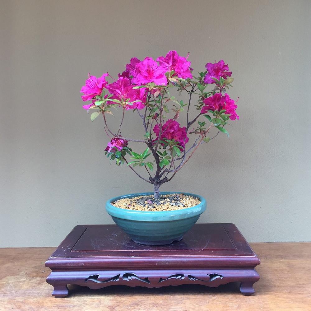 Beautiful Pink Flowering Azalea Bonsai Tree Az82