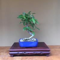 Silverberry Bonsai (SB503)