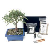 Willowleaf Ficus Bonsai Kit